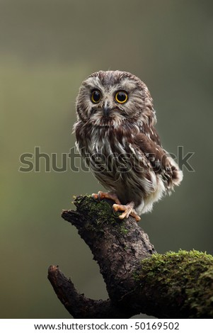 Closeup of a Saw-Whet Owl perching on a mossy log. - stock photo