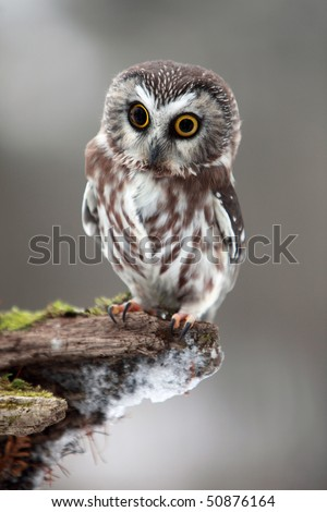 Closeup of a Saw Whet Owl with two different colored eyes. - stock photo