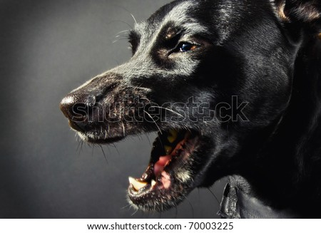 Closeup of a scary black dog - stock photo