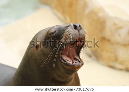 closeup of a sea lion - stock photo
