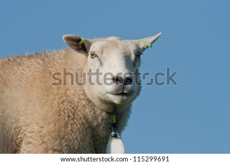 Closeup of a sheep on a dike