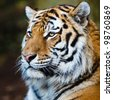 Closeup of a Siberian tiger also know as Amur tiger (Panthera tigris altaica), the largest living cat - stock