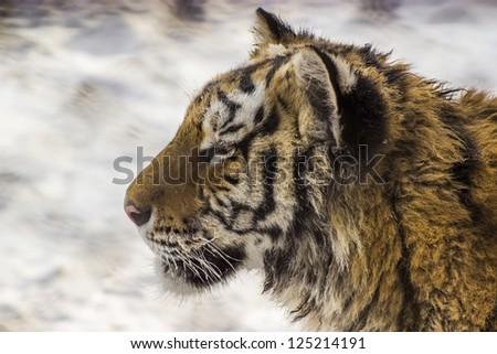 Closeup of a Siberian tiger at the Siberian Tiger Reserve in Harbin China - stock photo