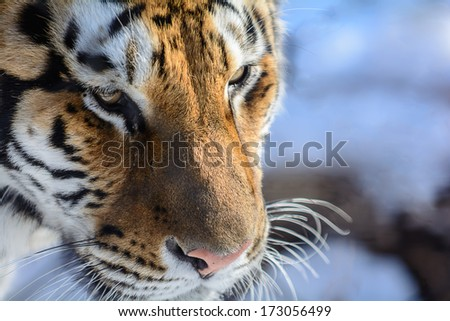 Closeup of a Siberian Tiger face. Only about 350 to 450 of these beautiful animals are left in the wild.  - stock photo