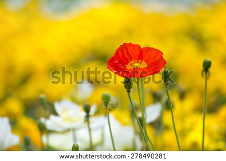 Closeup of a single red poppy on a yellow field - stock photo