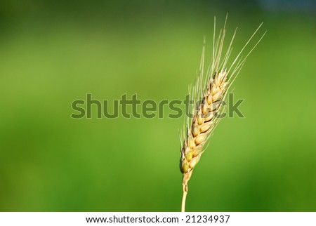 Closeup of a  Single Wheat Ear on a Green Background - stock photo