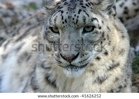 Closeup of a Snow Leopard