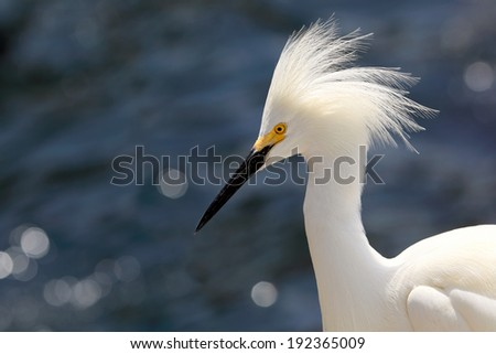 Closeup of a Snowy white egret with open headdress - stock photo