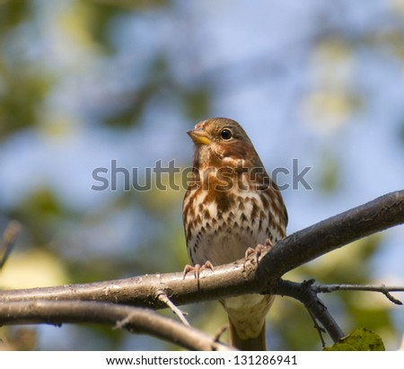 Closeup of a Song Sparrow on a tree branch
