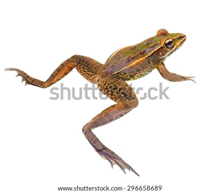 Closeup of a Southern Leopard Frog With Legs Spread Wide Apart Isolated on White - stock photo