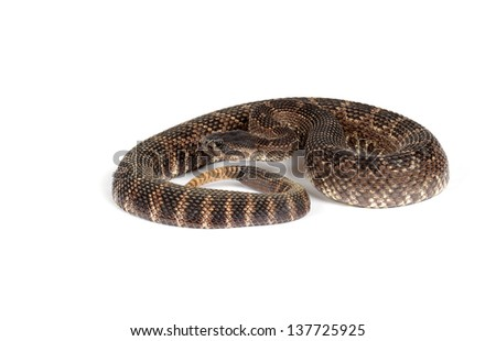 Closeup of a Southern Pacific Rattlesnake in front of a white background. On white.