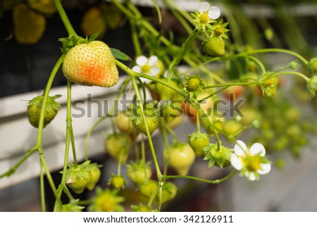 Closeup of a strawberry plants with white flowers and ripening,  strawberries. The plants are cultivated at ergonomic picking height in a specialized Dutch glasshouse horticulture business. - stock photo