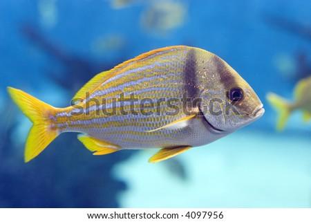 Closeup of a striped yellow tail fish - stock photo