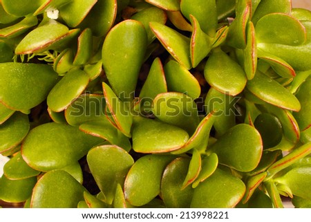Closeup of a succulent plant - stock photo