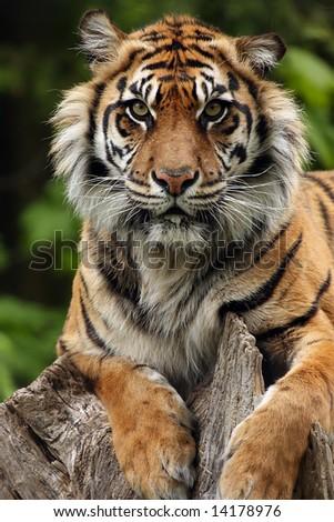 Closeup of a Sumatran Tiger laying on a tree stump. - stock photo