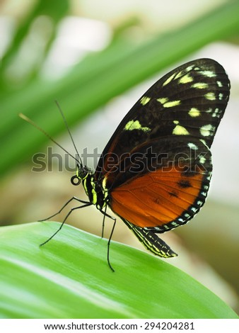 Closeup of a Tiger Longwing Butterfly from South America - stock photo