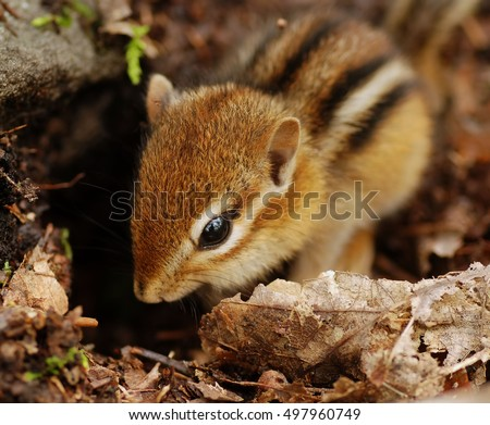 Closeup of a tiny baby chipmunk hiding among fallen leaves