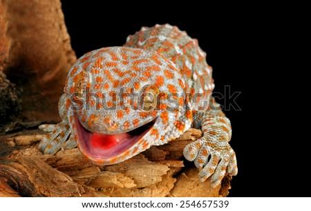 Closeup of a Tokay Gecko (Gecko gecko). - stock photo
