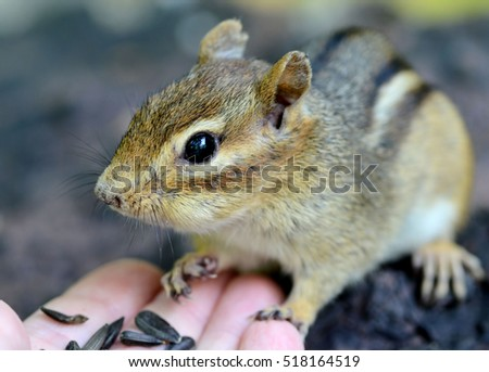 Closeup of a trusting older female chipmunk touching a hand