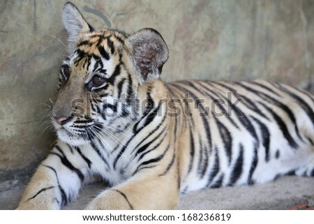 Closeup of a two year old Siberian Tiger Cub - stock photo