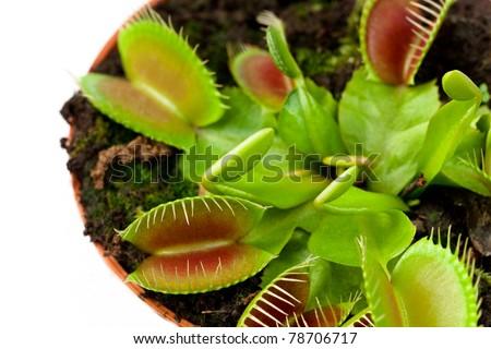 Closeup of a Venus flytrap plant (dionaea muscipula) in a pot. - stock photo