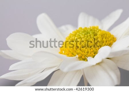 closeup of a vibrant white and yellow daisy against a grey background