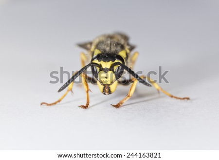 Closeup of a Wasp on White Background - stock photo