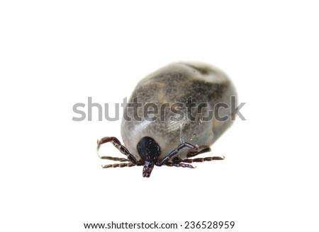 closeup of a Western Black-legged, (Ixodes pacificus)  a few days after engorging blood from a dog - stock photo