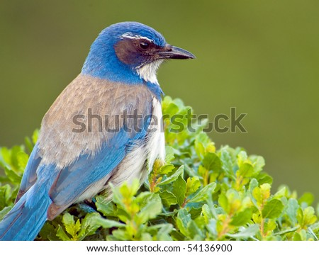 Closeup of a western bluebird - stock photo