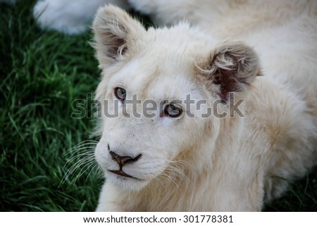 Closeup of a white baby lion