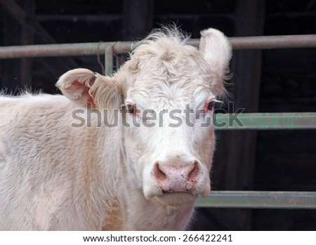 Closeup of a White Country Cow with One Upturned Ear