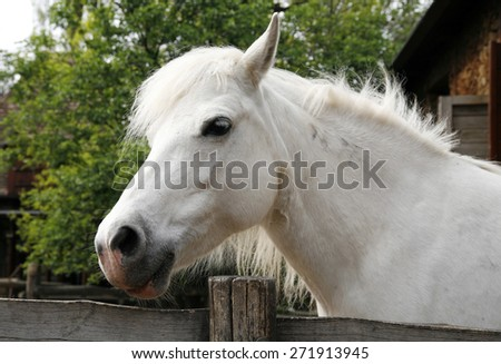 Closeup of a white pony horse. Pony looking over the corral door. Side view head shot of a gray pony horse - stock photo