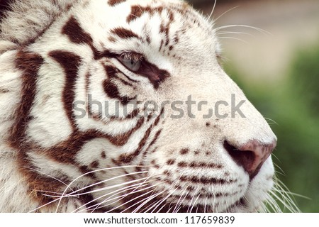 Closeup of a white tiger's head from the side - stock photo