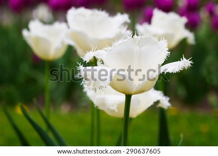 Closeup of a white tulip in early spring - stock photo