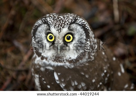 Closeup of a wide-eyed Boreal Owl on Amherst Island, Ontario. - stock photo