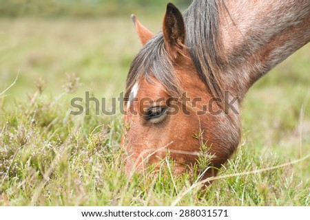 closeup of a wild pony grazing in the New Forest national park in the UK - stock photo