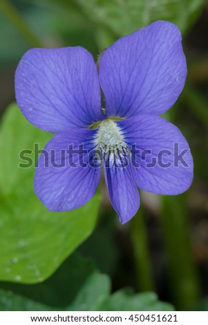 Closeup of a Wild Violet wildflower. - stock photo