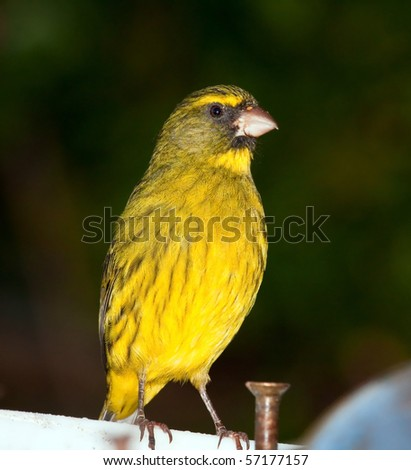 Closeup of a yellow canary sitting on a balcony