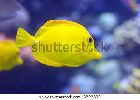 Closeup of a yellow tang (Zebrasoma flavescens). - stock photo