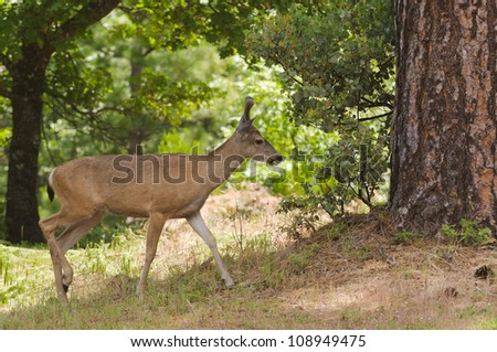 Closeup of a young Black-tailed buck in velvet