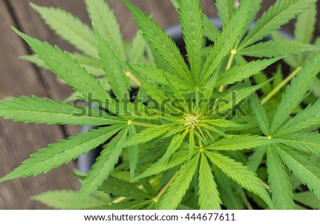 closeup of a young cannabis plant starting to blow