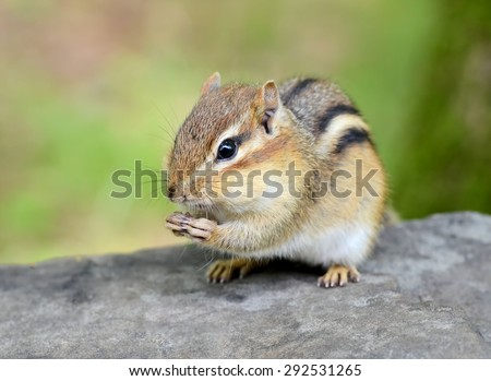 Closeup of a young chipmunk enjoying a snack of sunflower seeds - stock photo