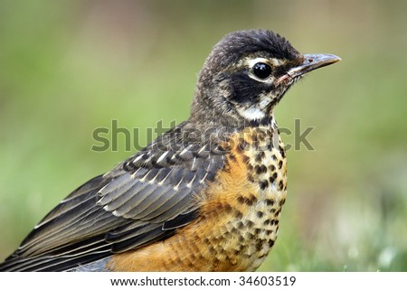 Closeup of a young Robin against a blurred background. - stock photo