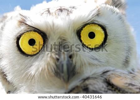 Closeup of a young snow-owl - stock photo
