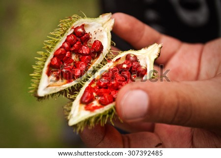 Closeup of achiote plant in the amazon rainforest, Yasuni National Park, Ecuador - stock photo