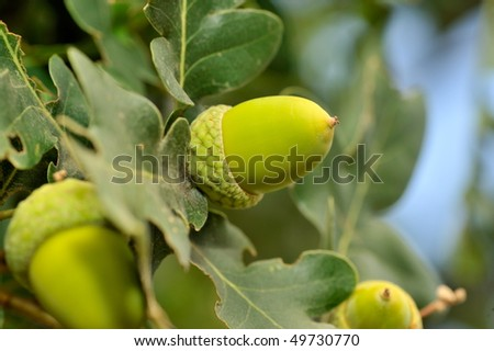 closeup of acorn in the wood - stock photo