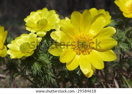 Closeup of Adonis flowers (Compositae)