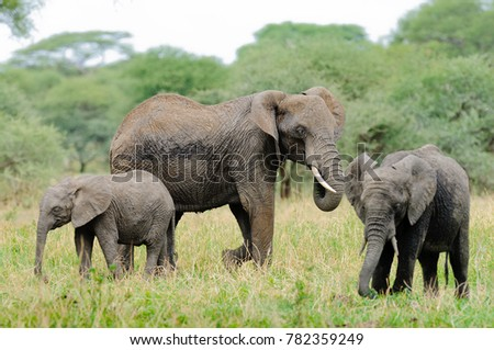 "Closeup of African Elephant (scientific name: Loxodonta africana, or ""Tembo"" in Swaheli) in the Tarangire National park in the East African country of Tanzania"