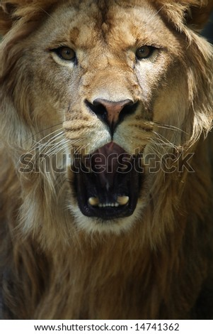 Closeup of African Lion roaring and looking directly at the viewer.