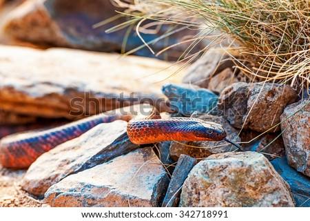 Closeup of alert Colletts cobra (Pseudechis colletti) on rocks - stock photo
